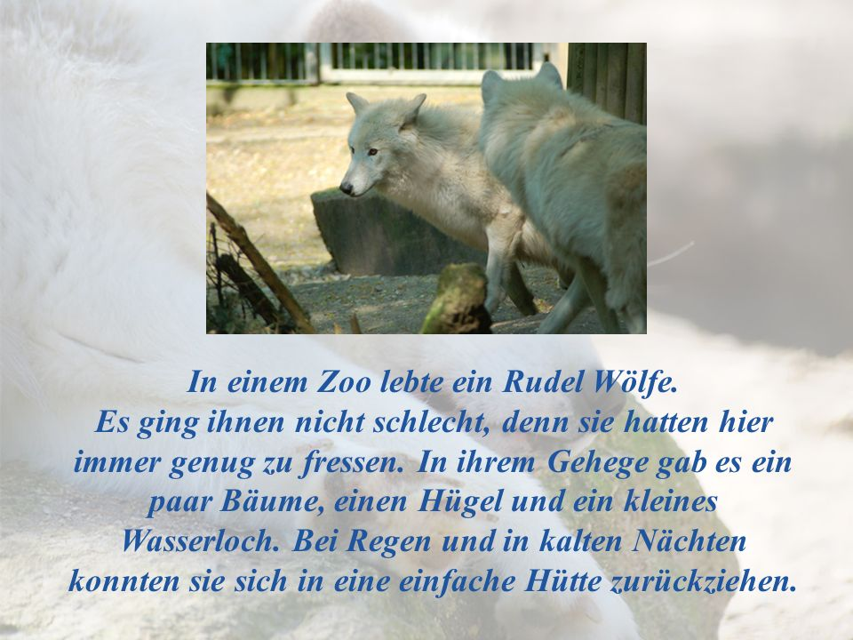 In einem Zoo lebte ein Rudel Wölfe.