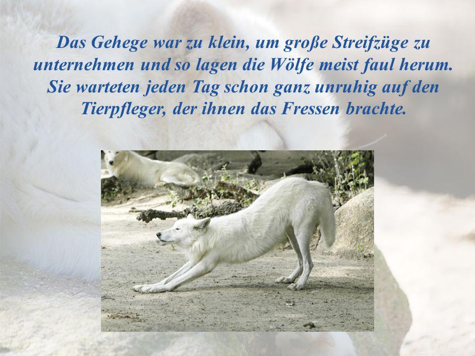 Das Gehege war zu klein, um große Streifzüge zu unternehmen und so lagen die Wölfe meist faul herum.