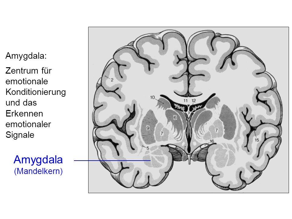 Amygdala: Zentrum für emotionale Konditionierung und das Erkennen emotionaler Signale.