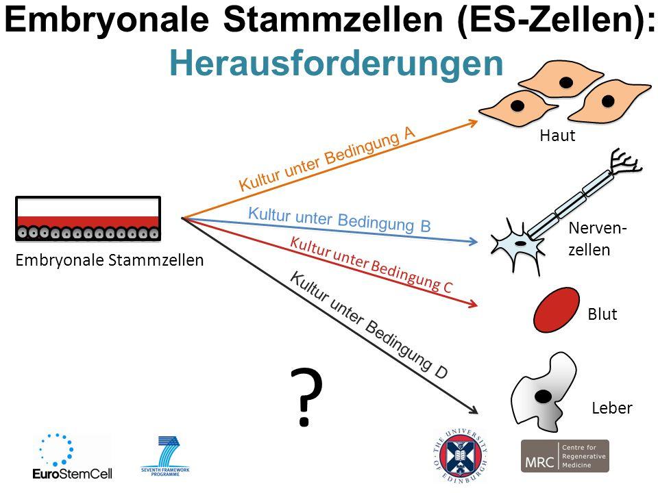 Embryonale Stammzellen (ES-Zellen):