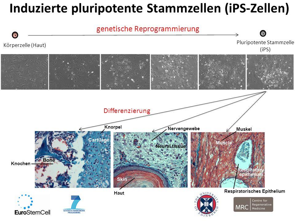 Induzierte pluripotente Stammzellen (iPS-Zellen)