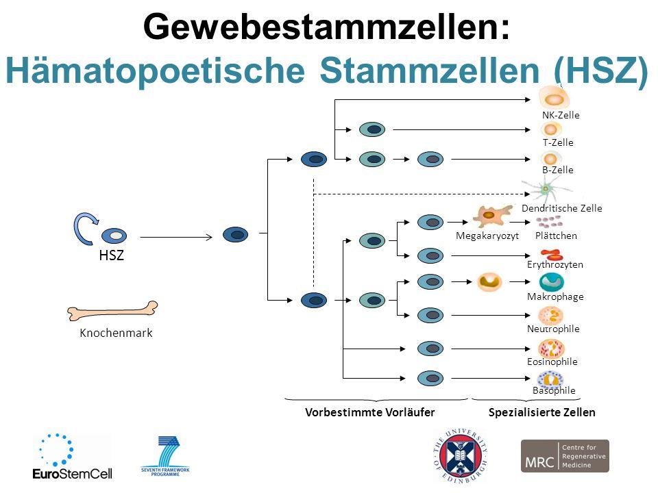 Hämatopoetische Stammzellen (HSZ)