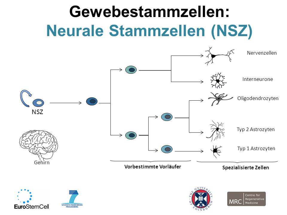 Neurale Stammzellen (NSZ)
