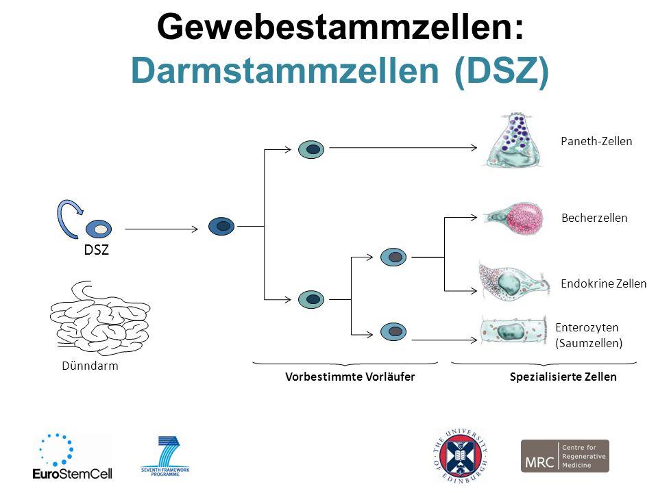 Darmstammzellen (DSZ)