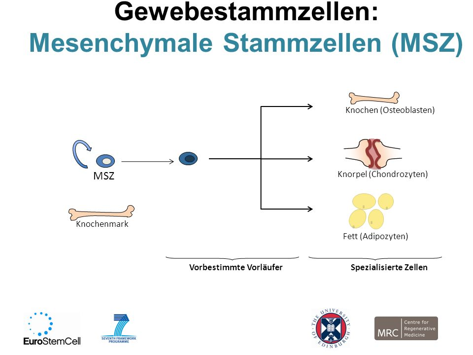 Mesenchymale Stammzellen (MSZ)
