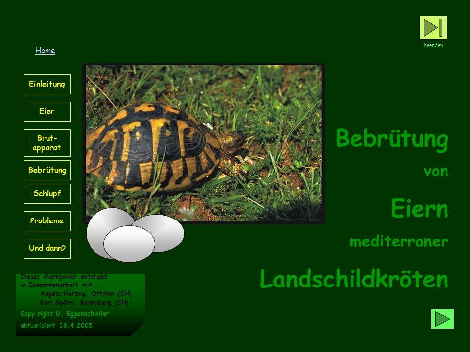 Bebrütung Eiern Landschildkröten von mediterraner Home Einleitung Eier