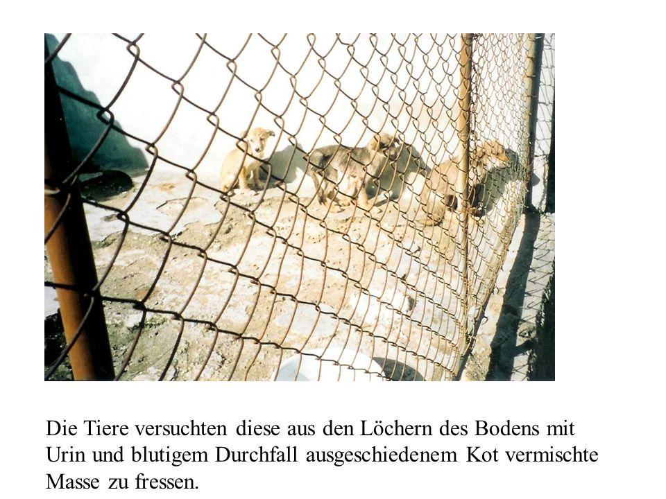Die Tiere versuchten diese aus den Löchern des Bodens mit Urin und blutigem Durchfall ausgeschiedenem Kot vermischte Masse zu fressen.