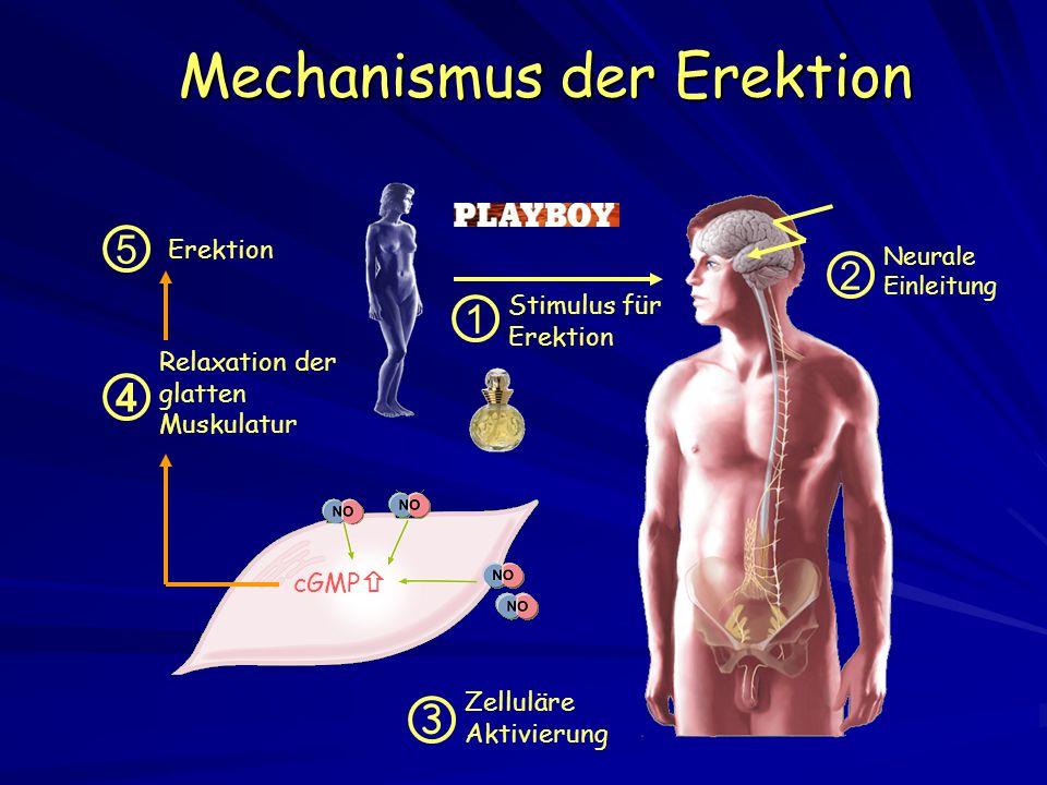 Mechanismus der Erektion