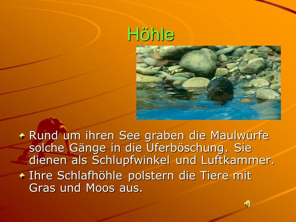 Höhle Rund um ihren See graben die Maulwürfe solche Gänge in die Uferböschung. Sie dienen als Schlupfwinkel und Luftkammer.