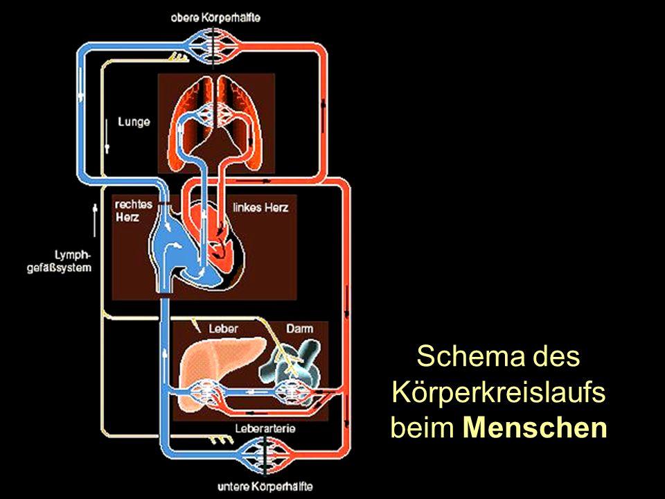 Schema des Körperkreislaufs beim Menschen