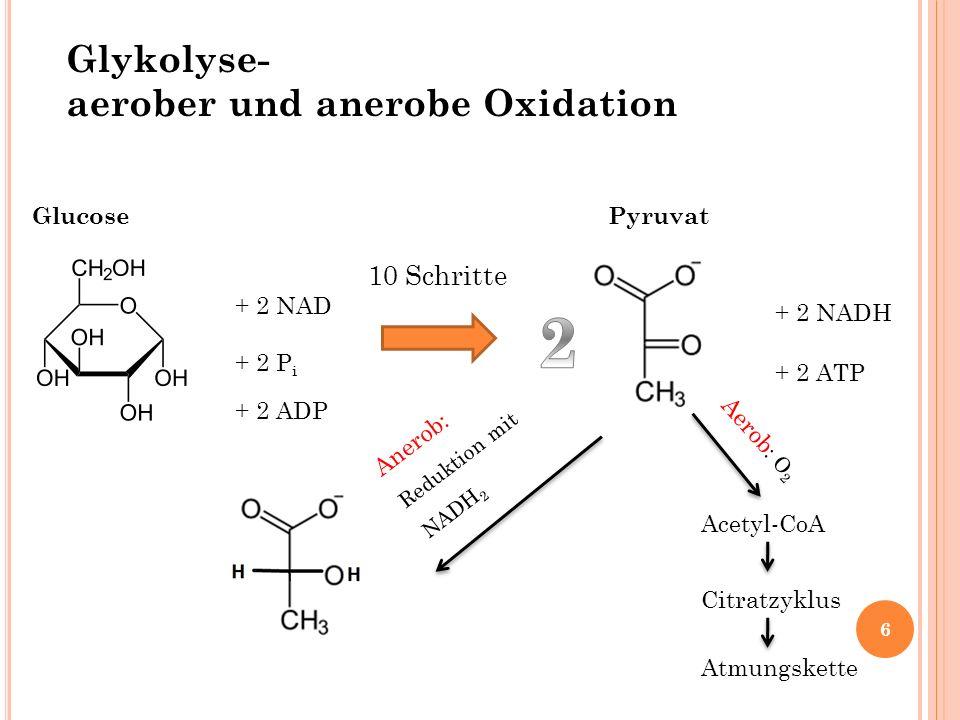 2 Glykolyse- aerober und anerobe Oxidation 10 Schritte Glucose Pyruvat