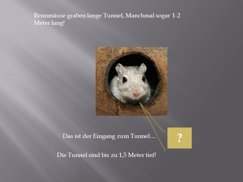 Rennmäuse graben lange Tunnel, Manchmal sogar 1-2 Meter lang!
