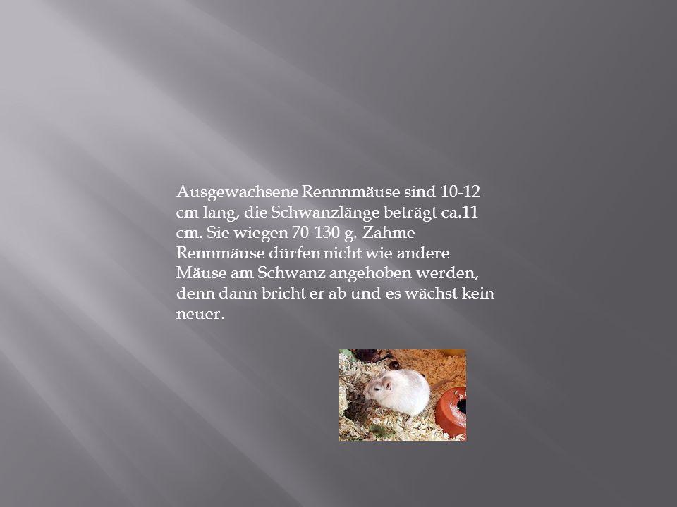 Ausgewachsene Rennnmäuse sind 10-12 cm lang, die Schwanzlänge beträgt ca.11 cm.