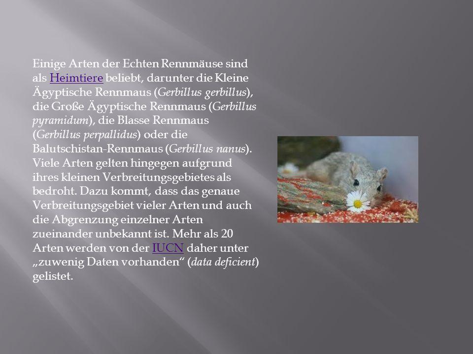 Einige Arten der Echten Rennmäuse sind als Heimtiere beliebt, darunter die Kleine Ägyptische Rennmaus (Gerbillus gerbillus), die Große Ägyptische Rennmaus (Gerbillus pyramidum), die Blasse Rennmaus (Gerbillus perpallidus) oder die Balutschistan-Rennmaus (Gerbillus nanus).