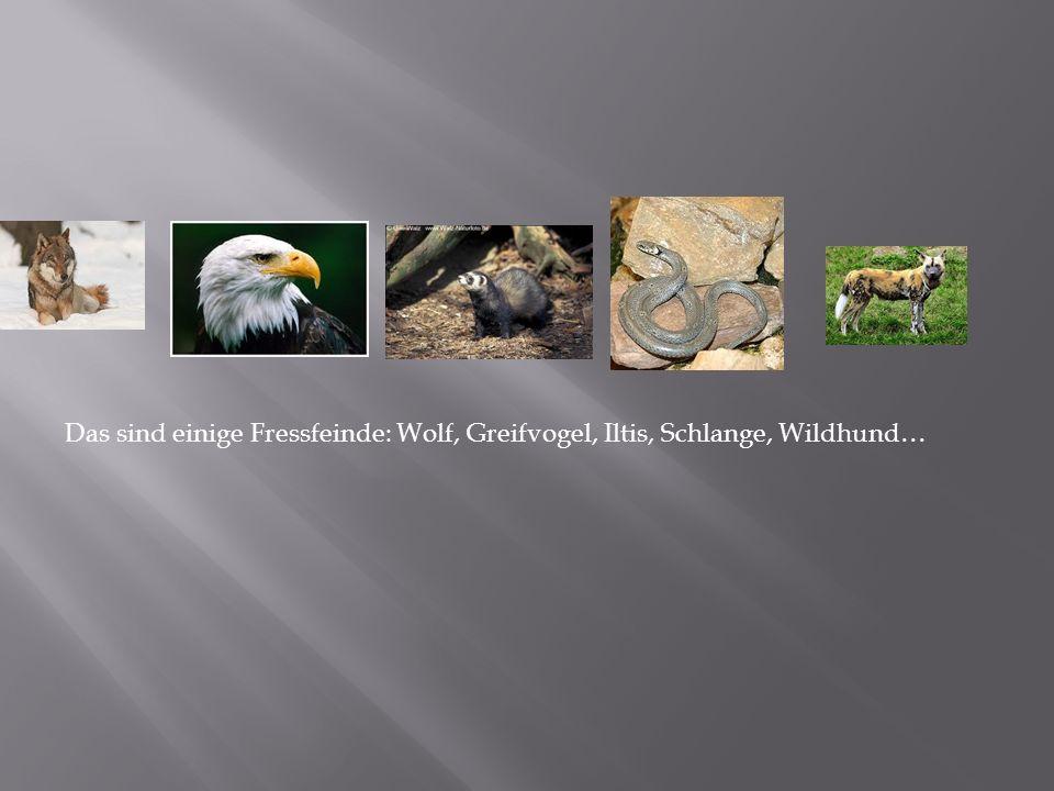 Das sind einige Fressfeinde: Wolf, Greifvogel, Iltis, Schlange, Wildhund…
