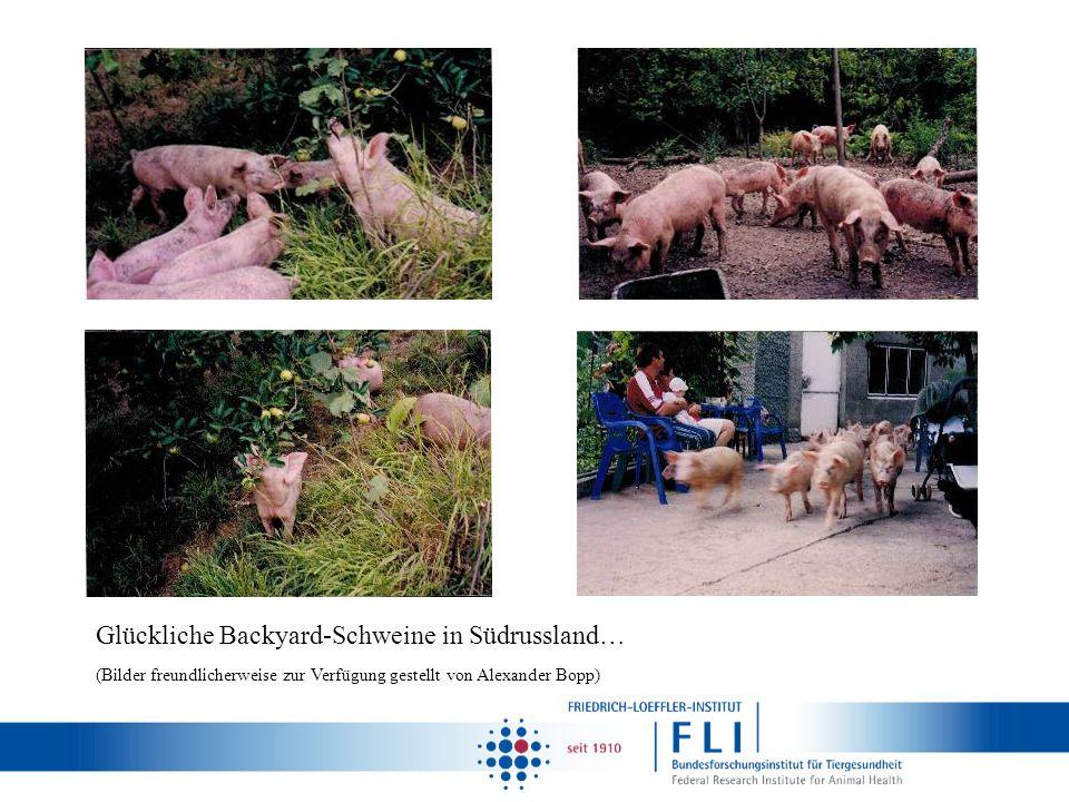 Glückliche Backyard-Schweine in Südrussland…