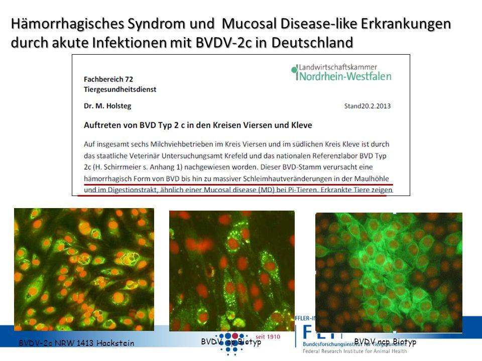 Hämorrhagisches Syndrom und Mucosal Disease-like Erkrankungen durch akute Infektionen mit BVDV-2c in Deutschland