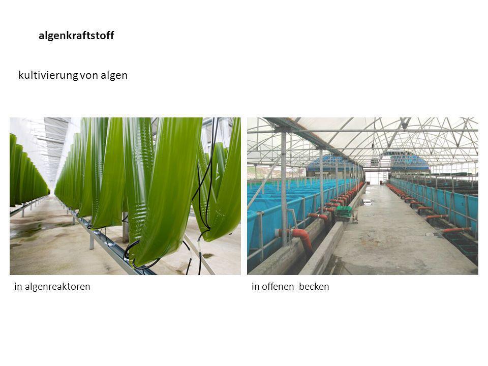 kultivierung von algen