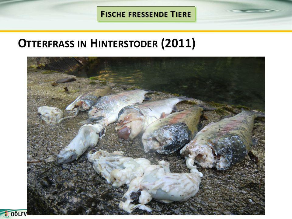 Otterfrass in Hinterstoder (2011)