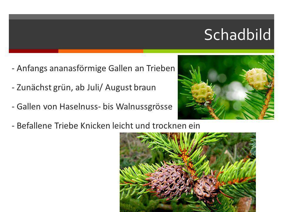 Schadbild - Anfangs ananasförmige Gallen an Trieben