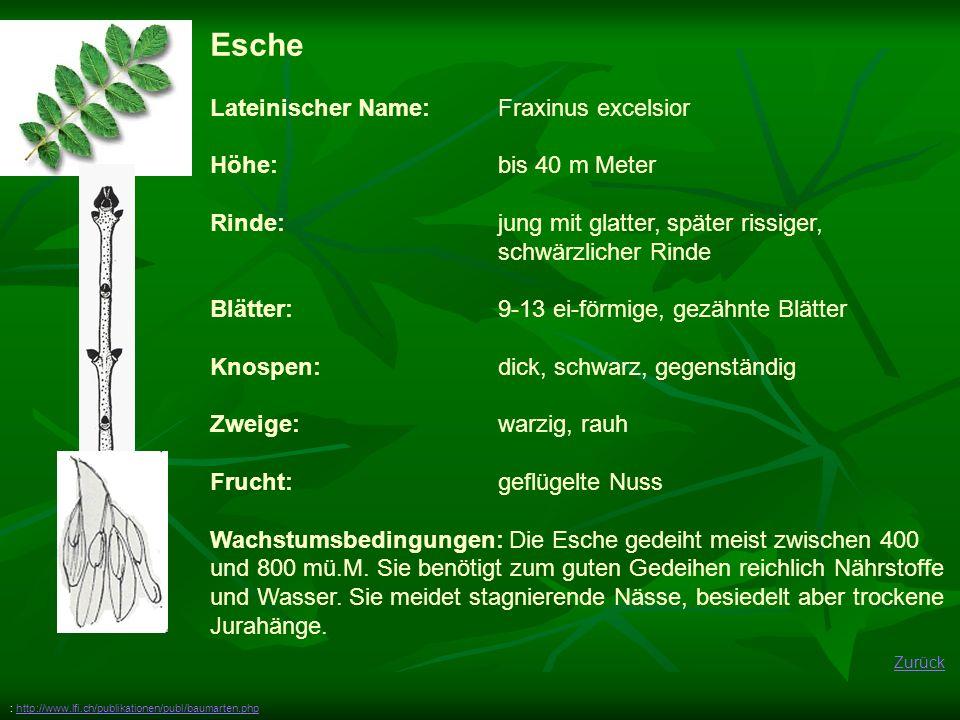 Esche Lateinischer Name: Fraxinus excelsior Höhe: bis 40 m Meter