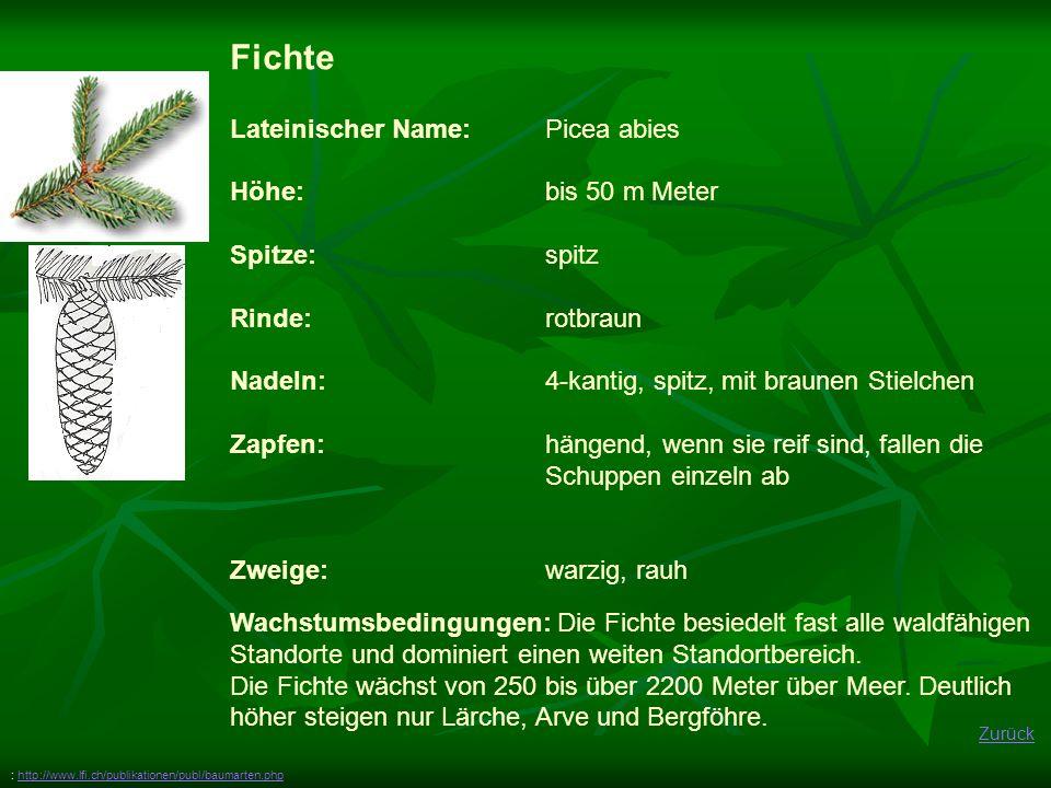 Fichte Lateinischer Name: Picea abies Höhe: bis 50 m Meter