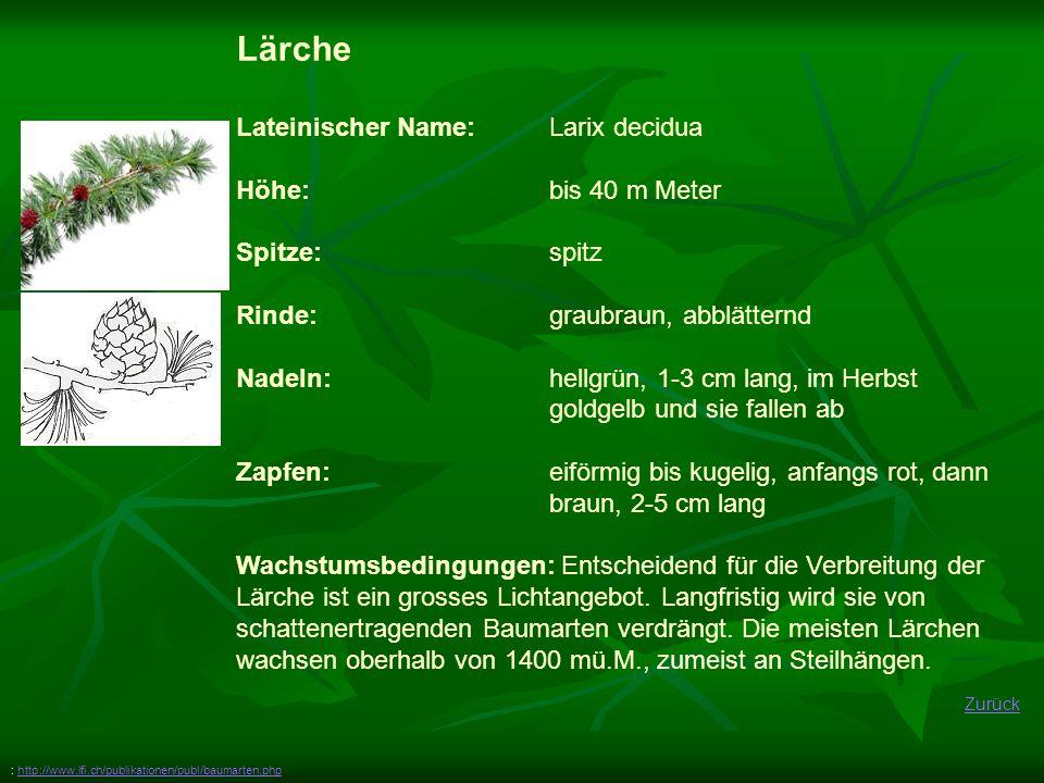 Lärche Lateinischer Name: Larix decidua Höhe: bis 40 m Meter