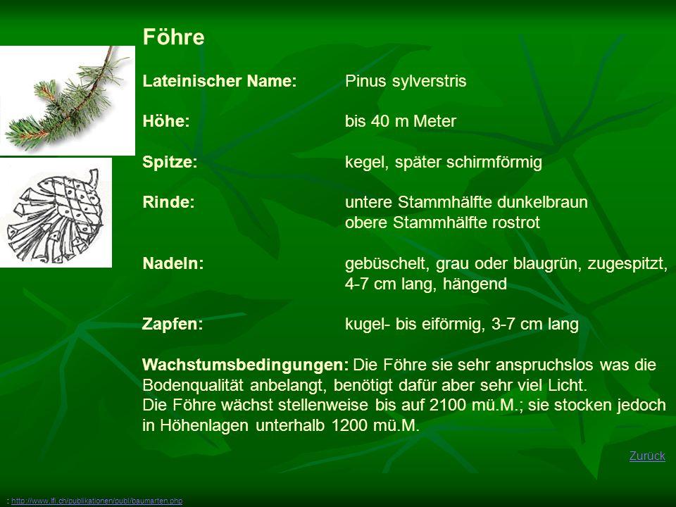Föhre Lateinischer Name: Pinus sylverstris Höhe: bis 40 m Meter