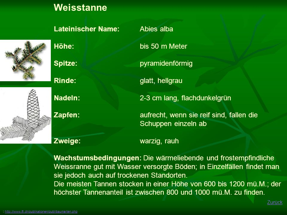 Weisstanne Lateinischer Name: Abies alba Höhe: bis 50 m Meter