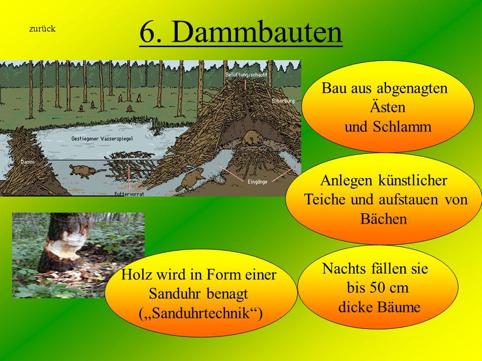 6. Dammbauten Bau aus abgenagten Ästen und Schlamm Anlegen künstlicher