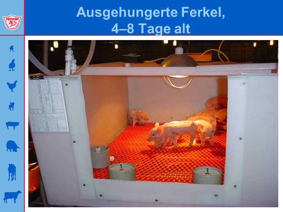 Ausgehungerte Ferkel, 4–8 Tage alt
