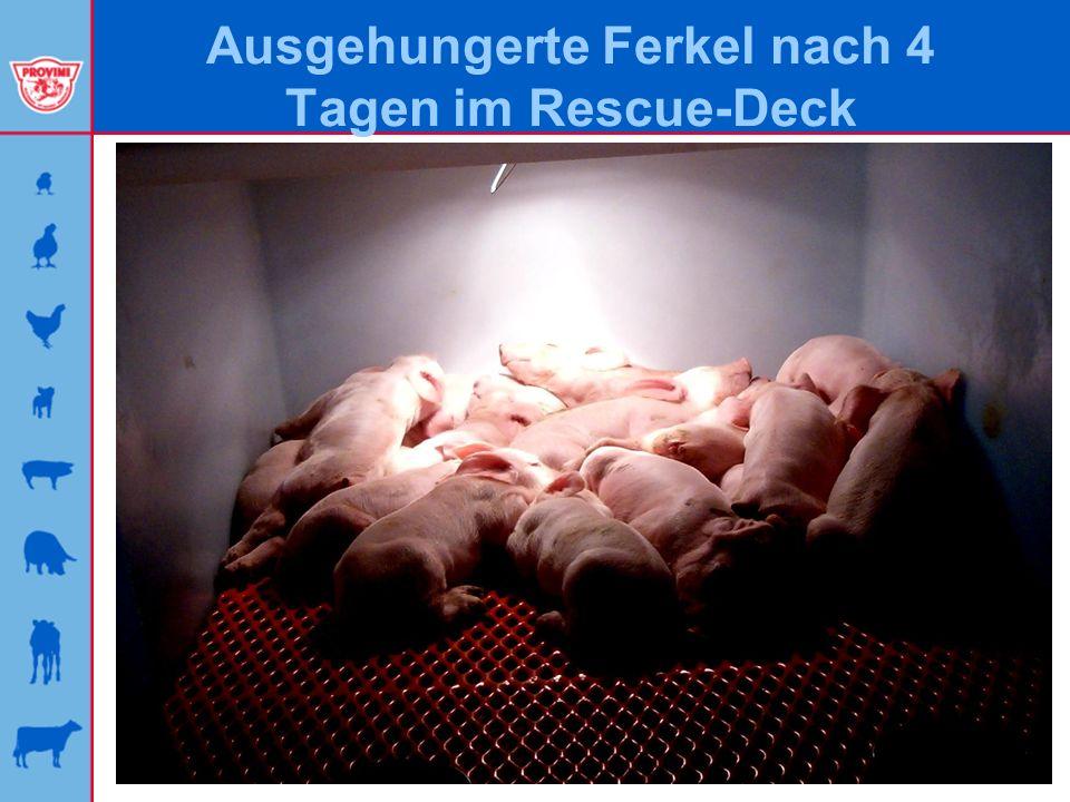 Ausgehungerte Ferkel nach 4 Tagen im Rescue-Deck