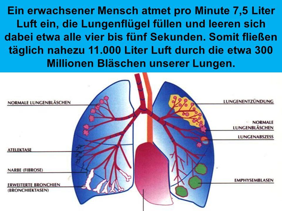Ein erwachsener Mensch atmet pro Minute 7,5 Liter Luft ein, die Lungenflügel füllen und leeren sich dabei etwa alle vier bis fünf Sekunden.