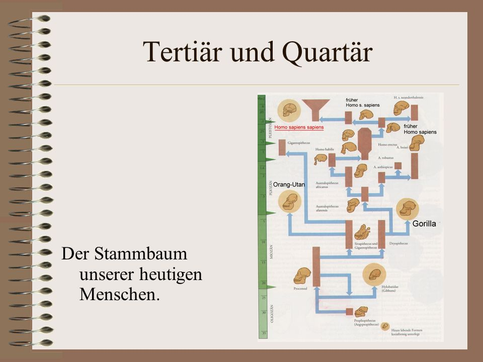 Tertiär und Quartär Der Stammbaum unserer heutigen Menschen.