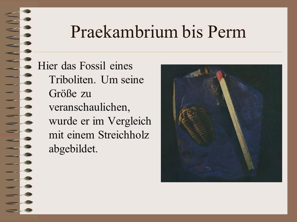 Praekambrium bis Perm Hier das Fossil eines Triboliten.