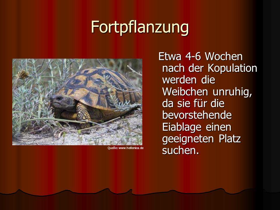 Fortpflanzung Etwa 4-6 Wochen nach der Kopulation werden die Weibchen unruhig, da sie für die bevorstehende Eiablage einen geeigneten Platz suchen.