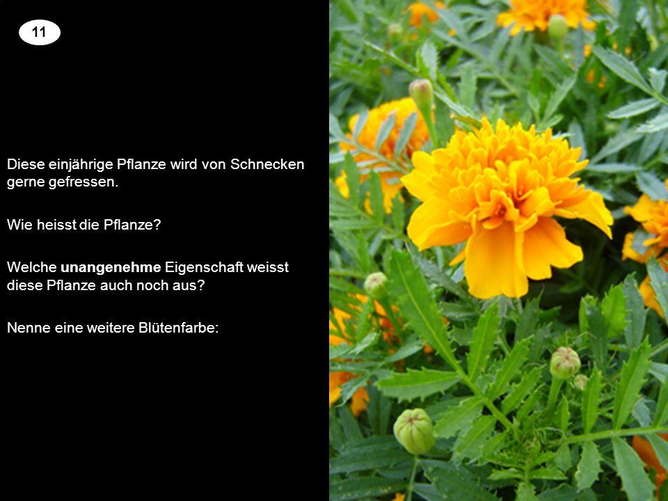 Diese einjährige Pflanze wird von Schnecken gerne gefressen.
