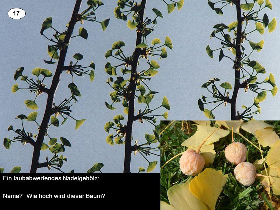 Ein laubabwerfendes Nadelgehölz: Name Wie hoch wird dieser Baum