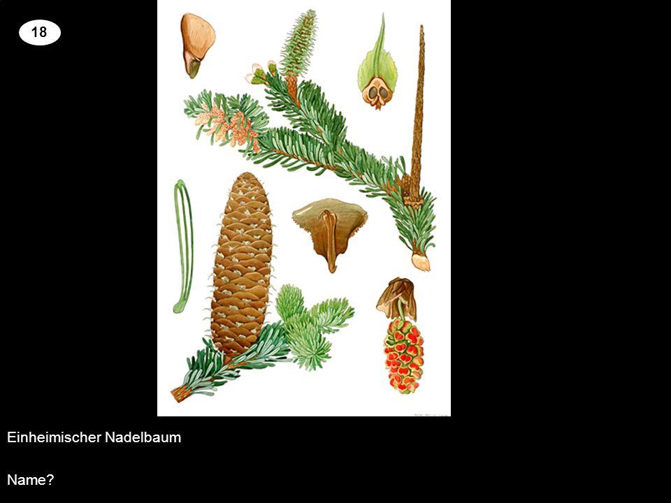 Einheimischer Nadelbaum Name