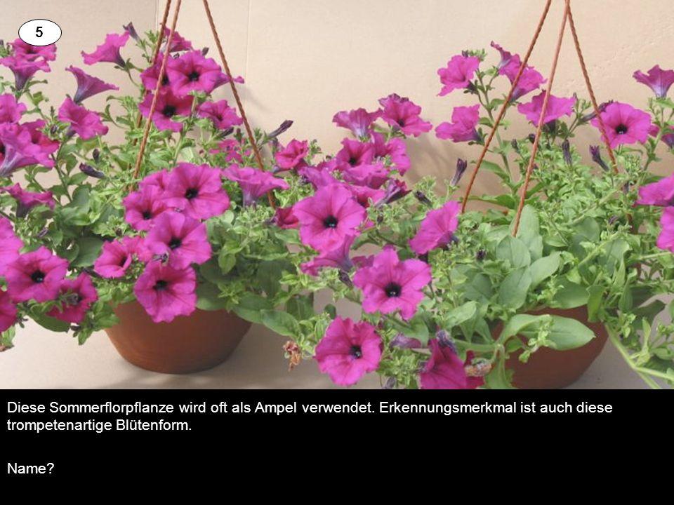 5 Diese Sommerflorpflanze wird oft als Ampel verwendet. Erkennungsmerkmal ist auch diese trompetenartige Blütenform.