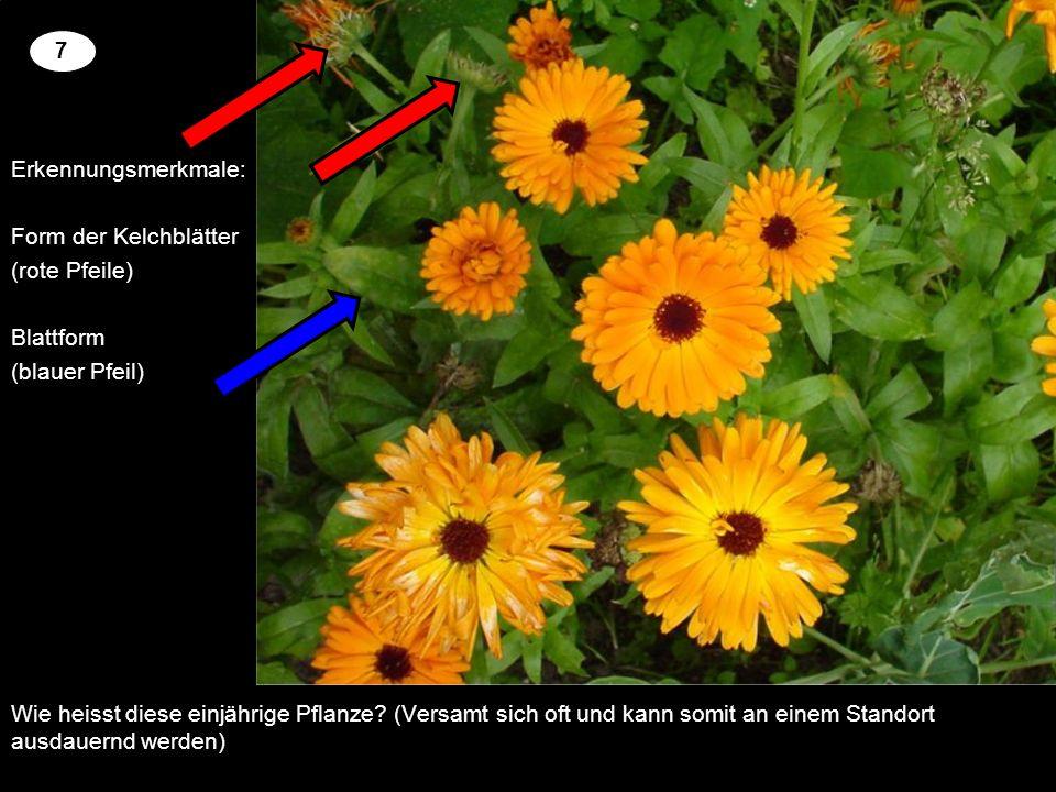 7 Erkennungsmerkmale: Form der Kelchblätter (rote Pfeile) Blattform