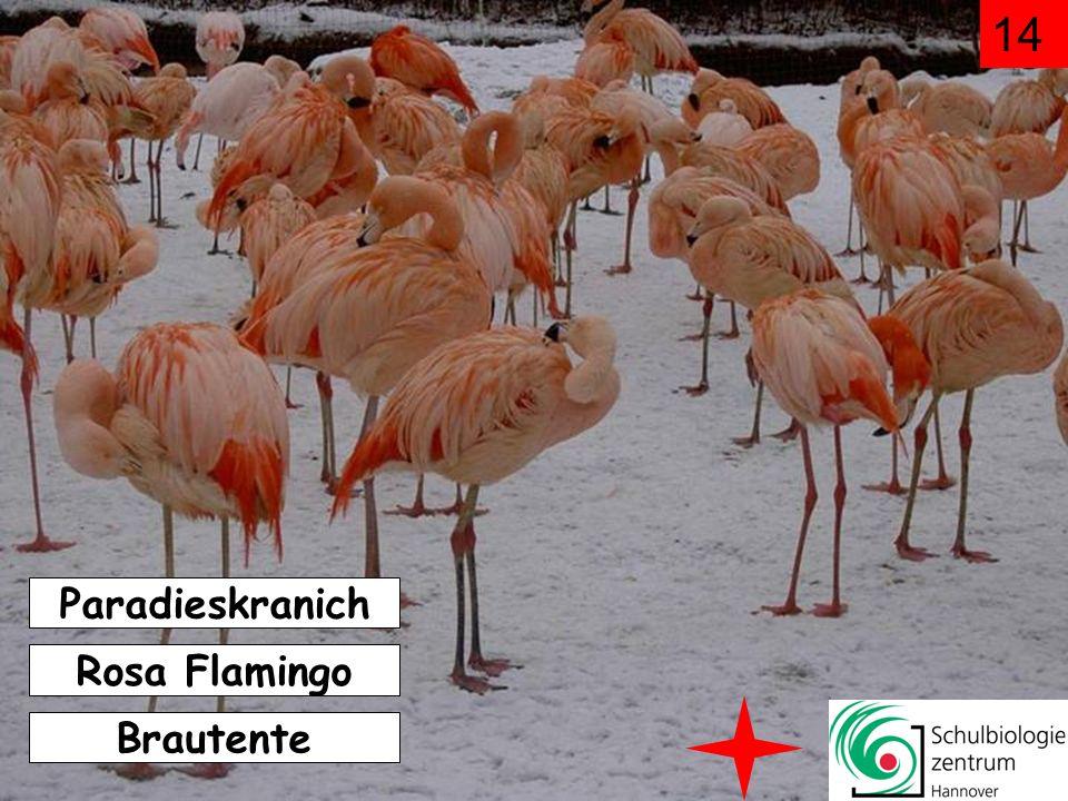 14 Paradieskranich Rosa Flamingo Brautente