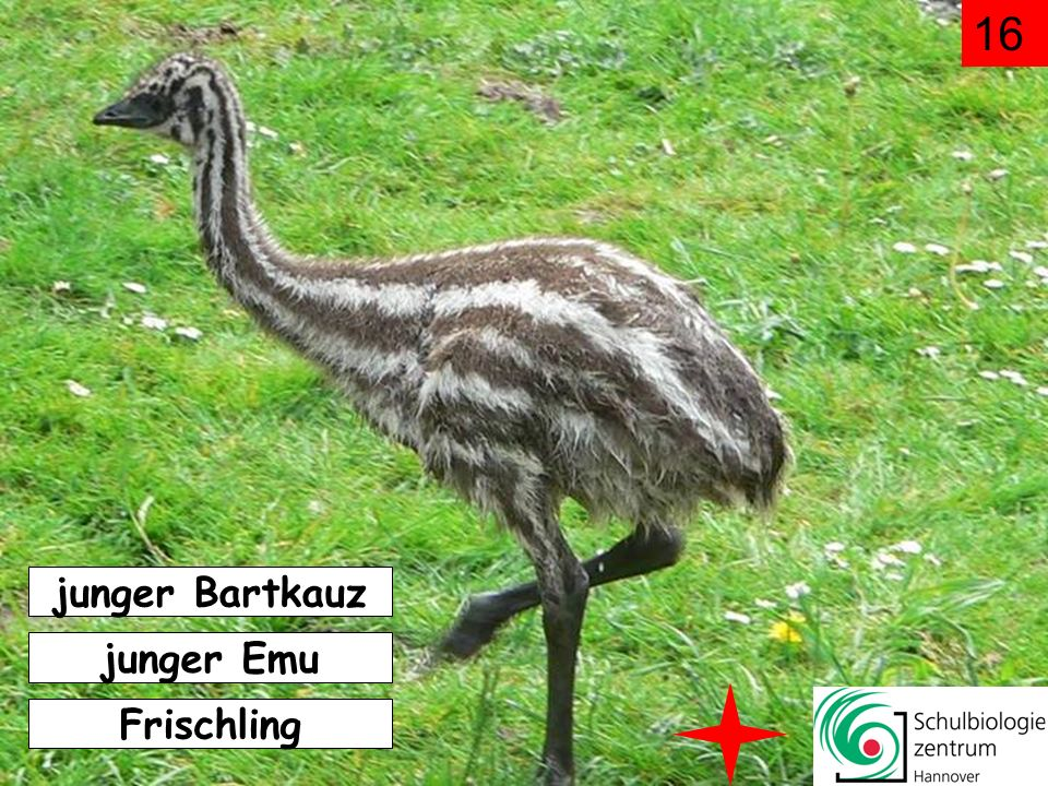 16 junger Bartkauz junger Emu Frischling