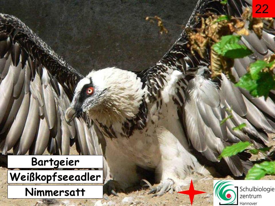 22 Bartgeier Weißkopfseeadler Nimmersatt