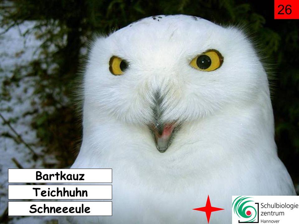 26 Bartkauz Teichhuhn Schneeeule