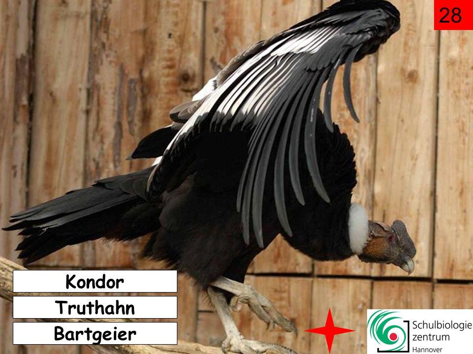 28 Kondor Truthahn Bartgeier