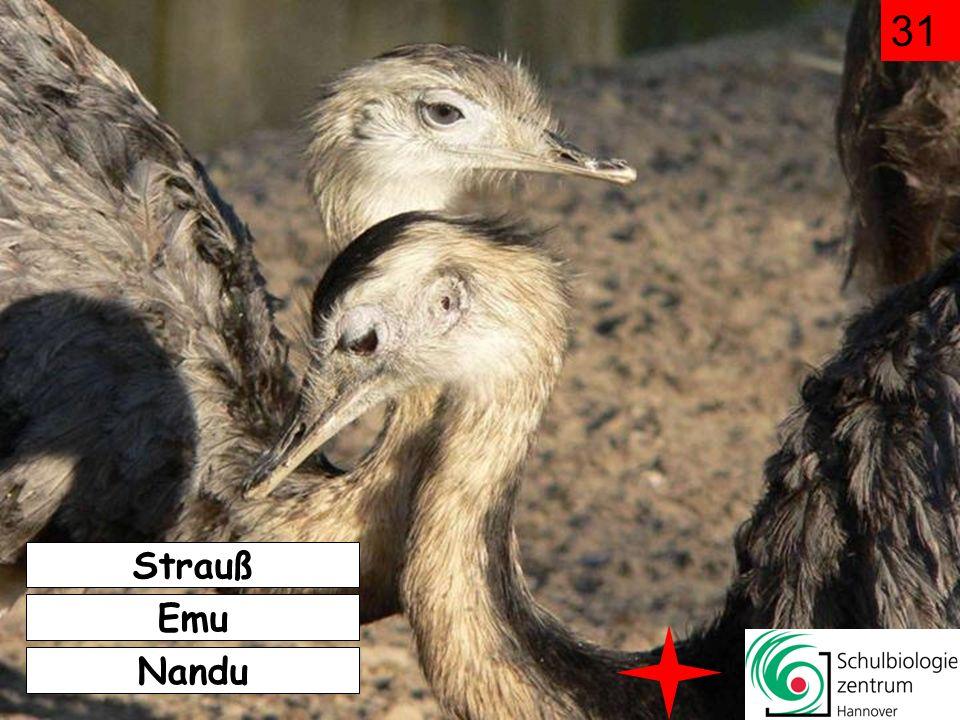 31 Strauß Emu Nandu