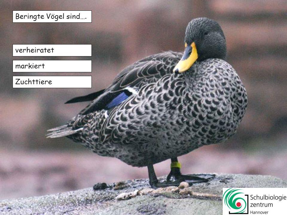 Beringte Vögel sind…. verheiratet markiert Zuchttiere