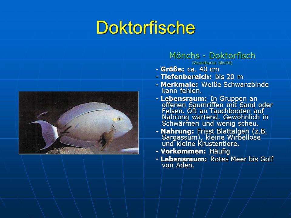 Doktorfische Mönchs - Doktorfisch - Größe: ca. 40 cm