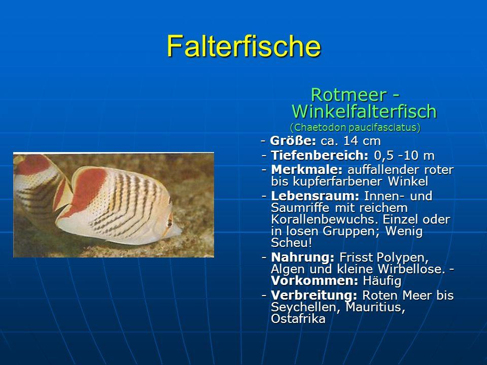 Falterfische Rotmeer - Winkelfalterfisch - Tiefenbereich: 0,5 -10 m